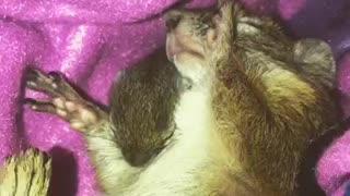 Mother squirrel preciously sleeps with her newborn baby