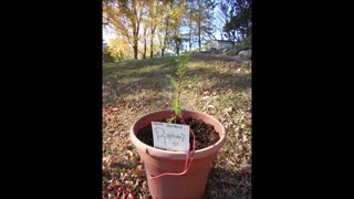 Healing Energy with Raphael a Dawn Redwood Oct 9 2020