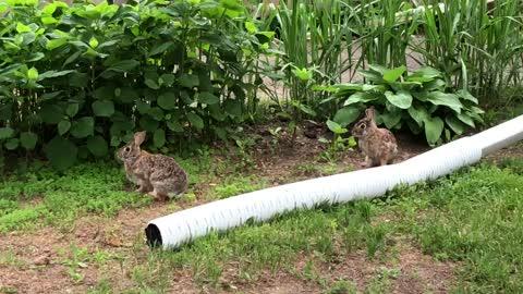 Curious Yard Bunnies