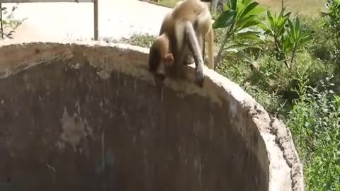 Two monkeys fell into the well