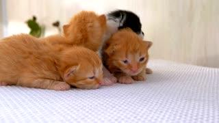 Lovely Newborn fluffy kittens