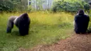 Huge Gorilla Rushes Another Massive Male