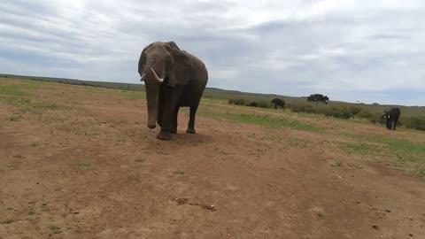 Elephant Welcomed Tourists Car In Jungle ' Elephant Hose Shake '