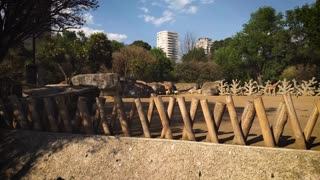 giraffe mammal tall african herbivore footage