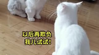 Funny cats fighter Animals Videos
