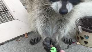 Raccoon is Serious about Cereal