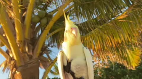 Sunrise at Lanikai beach with parrot