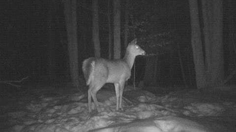 Unexplained Deer Gets Spooked by Bigfoot / Sasquatch / Yeti? Caught on Game Camera.
