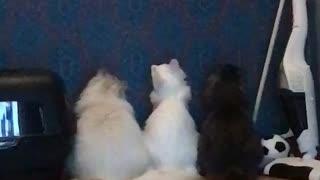Laser Has Captive Cat Audience