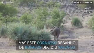 Bufalos enfrentam leões para salvar filhote de elefante