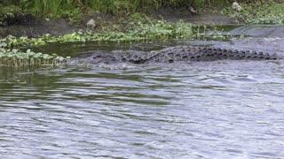 american alligator missed a fish