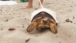 Tortoise on leash goes for walk on the beach