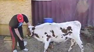 Cows Kiss better