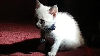 Silver the Kitten