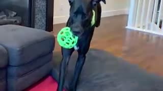 Great Dane Slo Motion - Running to Couch with BALL