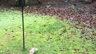 Squirrel Outsmarted by Slippery Bird Feeder