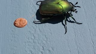 Beetle Makes a Marbled Mess