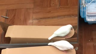 Mellow the Java Sparrow Loves His Reflection
