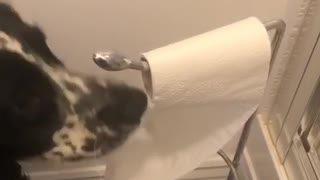 Dog plays with toilet roll