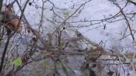 Harris hawk drowns pheasant