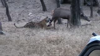 Tiger Kill bear - Tigers attack wild boar and deer