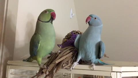 Two Parrot Brothers Speak English To Each Other
