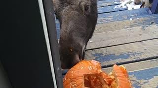Moose Munches Pumpkin on Doorstep