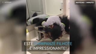 Chimpanzé aprende a beber água da torneira