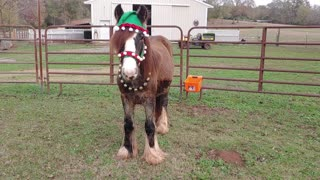 Gypsy Horse Quiggly's Merry Christmas Video