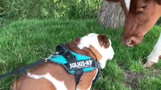 Bulldog and cow share precious first meeting together