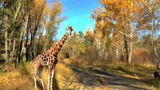 Long Neck Giraffe Got Lost In Forest