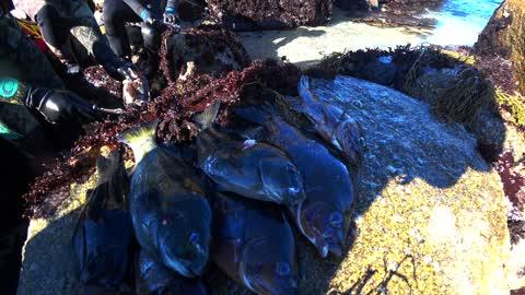 Spearfishing - Pacific Grove - Rockfish and Opal Eye