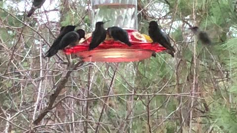 Hummers in action