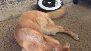 Sleepy Dog Lies Motionless As Robot Vacuum Works Around Her
