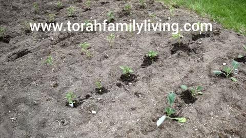 Our veggie garden week #1