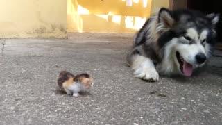 Big Dog afraid of a little kitten
