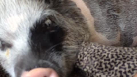 Mini pig doesn't want to be bothered during her nap