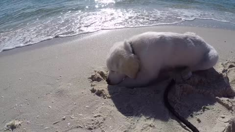 Cute Puppy try's to keep his head cool at the beach