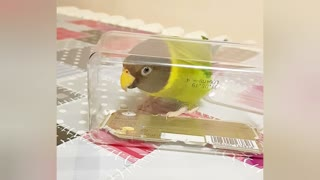 Clever parrot sings into a box to make himself louder