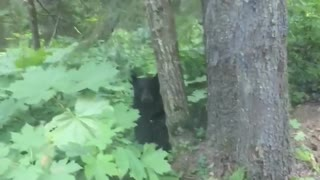 Young Black Bear Scares Guy Observing the Forest in his Car