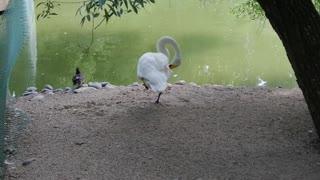 Beautiful swan in nature.