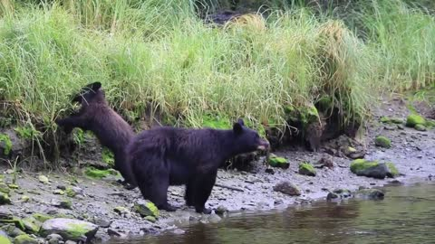 Hungry Bear searching for food
