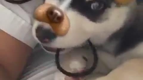 Siberian husky on Snapchat