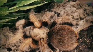 My tarantula molting