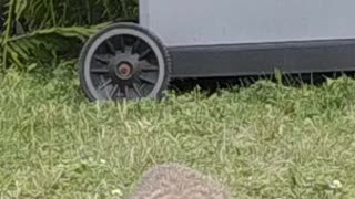 Funny groundhog looks at camera while eating