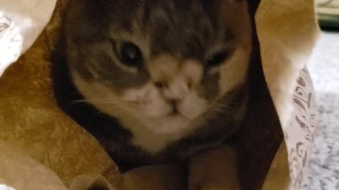 Cat chills out inside empty Chipotle bag