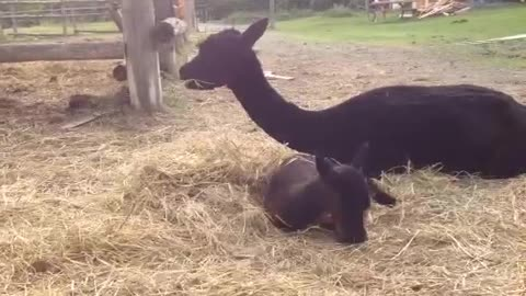 Baby alpaca tastes hay for the first time
