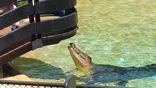 Australian Crocodile being feed