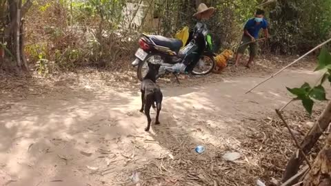 Dog afraid of dead tiger