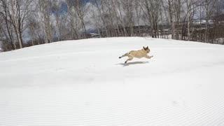 Super Fast French Bulldog Speeds Downhill